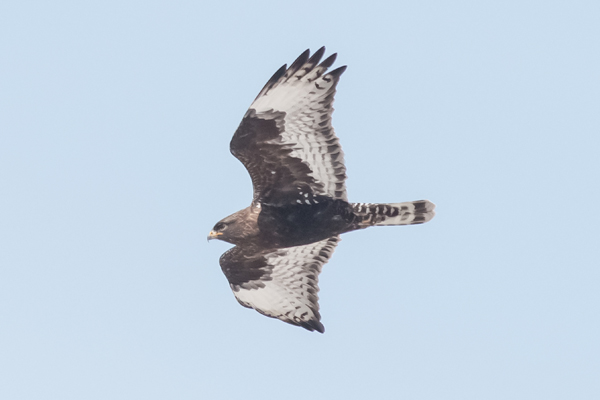 1220-dsc-5641-psr001c-10x8-300ppi-dark-morph-rough-legged-hawk