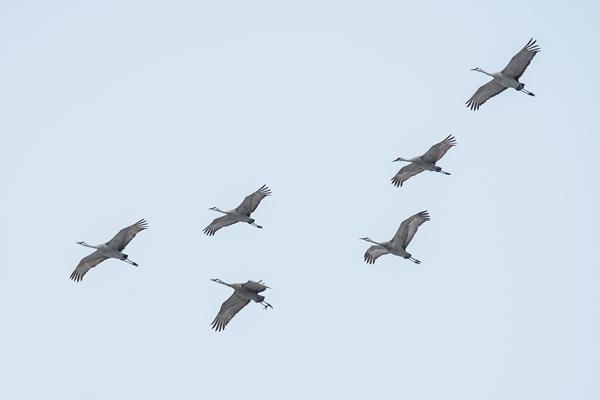 1240-dsc-5523-psr001c-10x8-300ppi-sandhill-cranes