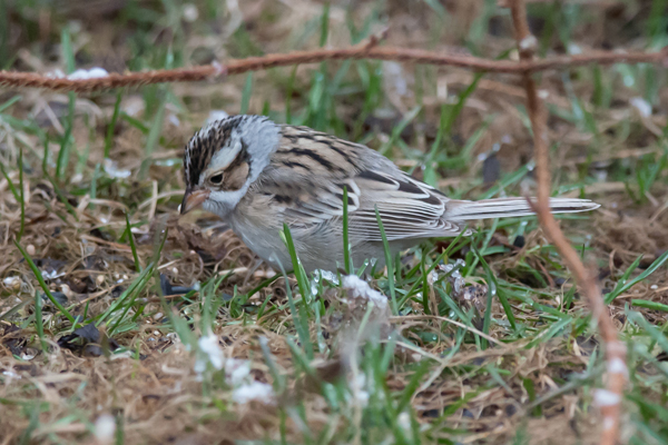 1260-dsc-0496-psr001c-300ppi-clay-colored-sparrow