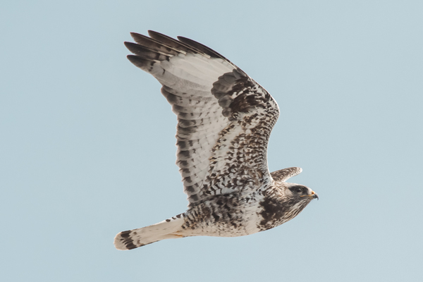 1320-dsc-5602-psr001c-10x8-300ppi-rough-legged-hawk-passing-the-tower