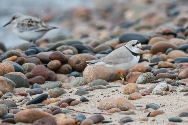 1340-dsc-0455-psr001c-10x8-300ppi-piping-plover-at-point