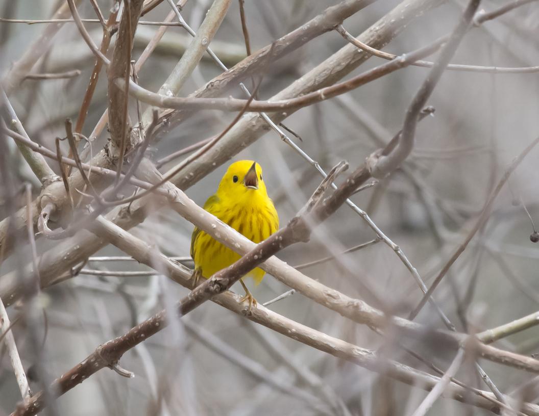 dsc-0703-psr001c-10x8-yellow-warbler