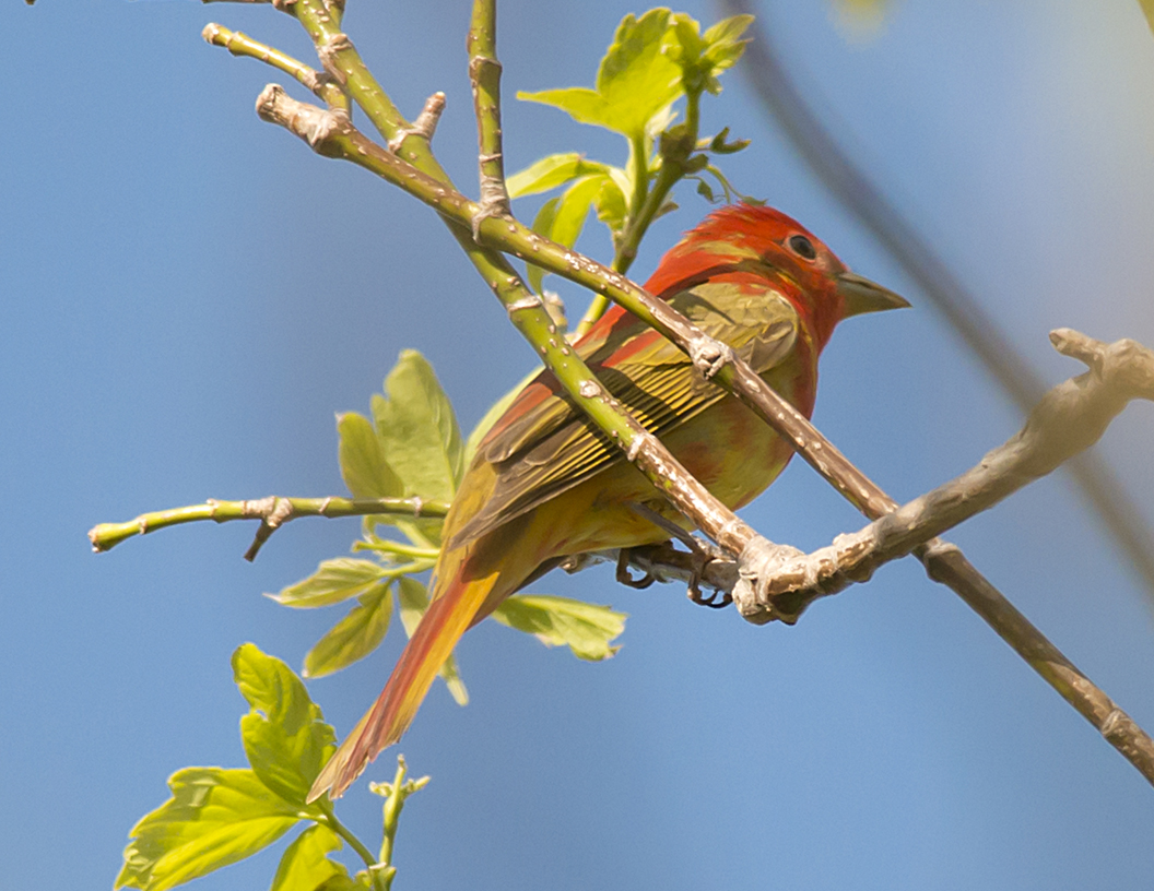 dsc-0714-psr001c-10x8-summer-tanager