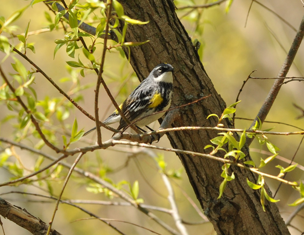 dsc-2038-yellow-rumped-warbler