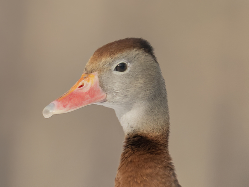 whistling-duck-11aj-2-12-20_ss09
