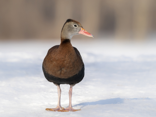 whistling-duck-2b-2-12-20_ss08